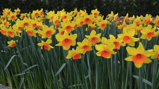 Desired Daffodil