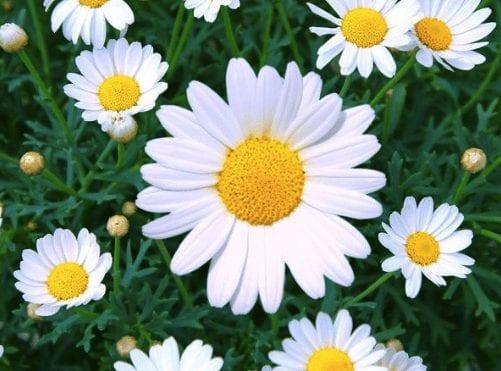 Youthful Hopeful Daisy