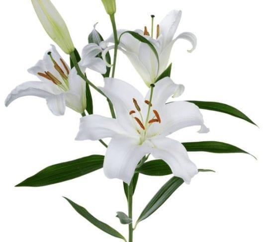 Innocent Resurrection Lily