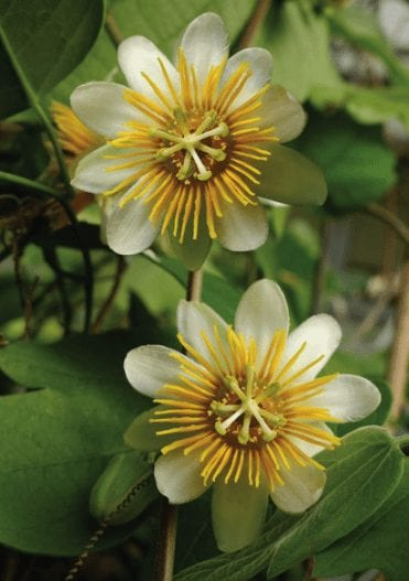 Faithful Passion Flower