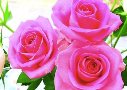 Loving Wise Beautiful Rose