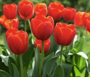 Loving and Charitable Tulip